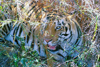 Photo: Aline's photo of a tigress in Kanha taken whilst seated on an elephant