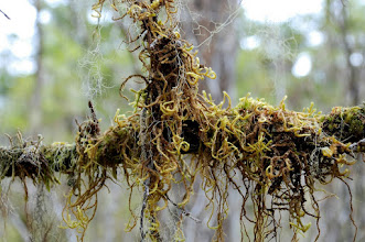 Photo: Twisty moss