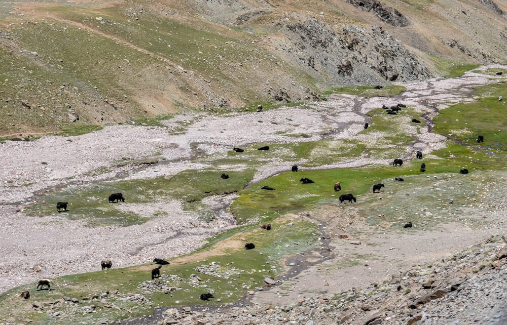 buffaloes+kunzum+pass+Spiti+valley+spiti+images+himachal+india