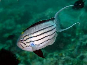 Photo: male Blackstriped Angelfish - Genicanthus lamarck - Twin Rocks