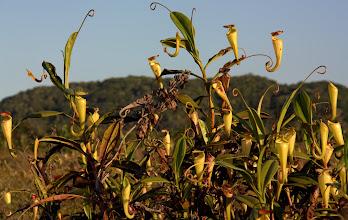 Photo: carnivorous pitcher plant