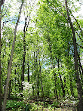Photo: White dogwood among the trees at Hills and Dales Park in Dayton, Ohio.