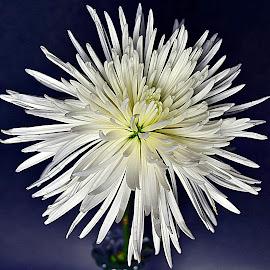 by Andrew Piekut - Flowers Single Flower
