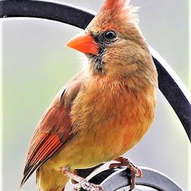 red cardinal by Mary Gallo - Animals Birds ( bird, redcardinal, cardinal, nature, wildlife, animal,  )