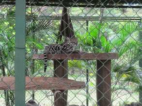 Photo: Ocelot at Monkey Park. Just a beautiful cat.