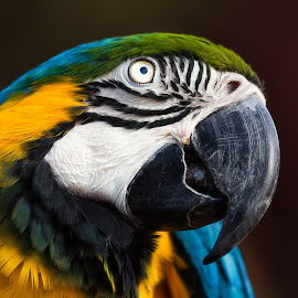 Blue Yellow Macaw by Dave Lipchen - Animals Birds ( blue yellow macaw )