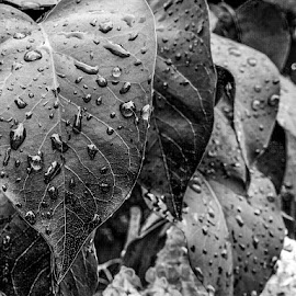 After the Rain by Dorothy Day - Nature Up Close Leaves & Grasses ( plant, water, blackandwhite, nature, raindrops, leaves )
