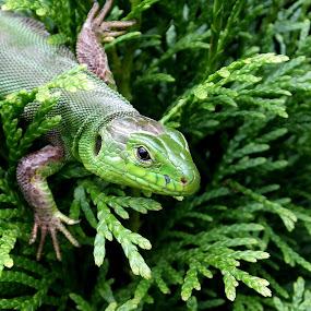 Green Lizard by Marina Denisenko - Animals Reptiles ( wildlife photography, reptiles, animal, lizard, wildlife,  )