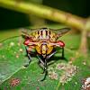 Stalk-eyed Signal Fly