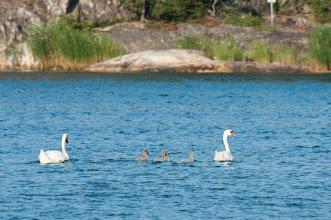 Photo: Mute Swan (Höckerschwan); Utö, SE