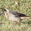 Australian Magpie (immature)