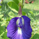 Conchita azul