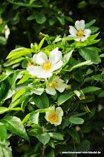 Photo: die zweite Wildrose