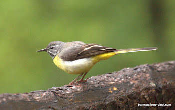 Photo: Georgy's Photo: A gray wagtail showing off his not-so-gray colors