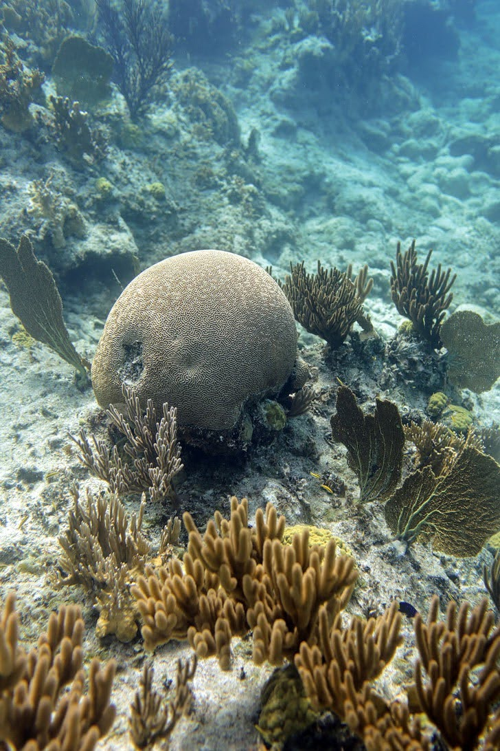 Giant Brain Coral (Silver Deep Turks and Caicos Activities).