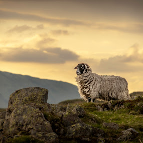 Loughrigg Sheep by Alex Barrow - Animals Other Mammals (  )