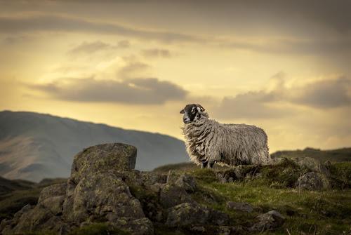 Loughrigg Sheep by Alex Barrow - Animals Other Mammals (  )