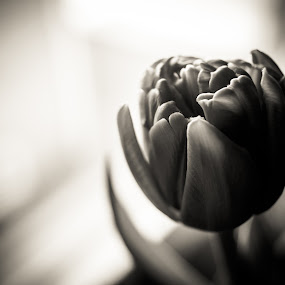 Easter Tulip  by Winterlyn Stebner - Black & White Flowers & Plants ( easter, black and white, plants, tulips, shadows )