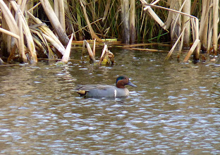 Photo: Green-winged Teal