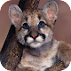 Download Cougar Wallpapers HD For PC Windows and Mac