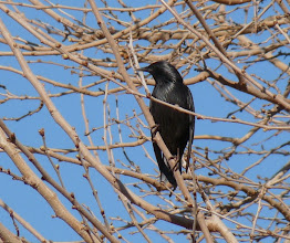 Photo: Storno nero - Sturnus unicolor - Spotless Starling
