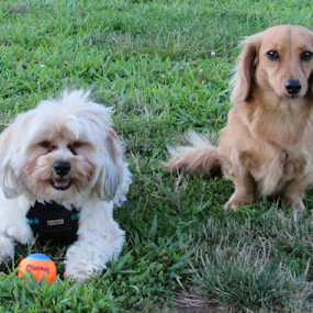 Copper and Oliver at the Park by Karen Dayton - Animals - Dogs Portraits ( canine, dog park, daschund, dogs, connecticut, small dogs, best buddies, morkie, tennis ball,  )