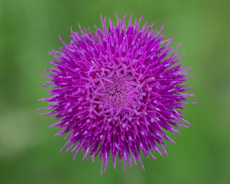 Fiore Viola di Nicola_Santolin