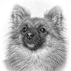 Chi Head in pencil by John Cuthbert - Drawing All Drawing ( sketch, nature, set, hound, chi, pet, limited edition, dog, print, drawing )