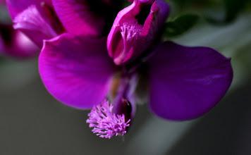 Photo: Polygala myrtifolia, Polygalaceae