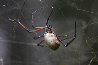 Photo: Nephila orb weaver spider - the very large female and tiny male.