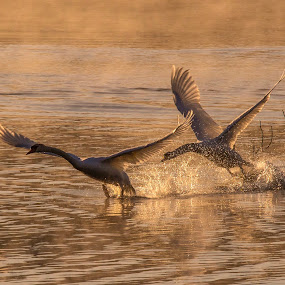 Swan on Zierings Pond by Franz  Adolf - Animals Birds