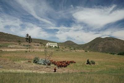 Kühe und Aloe-Pflanze im Groenfontein Valley