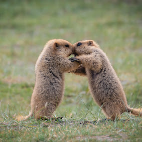 First Kiss? by Santanu Majumder - Animals Other Mammals ( marmot, himalayan, india, ladakh, wildlife )