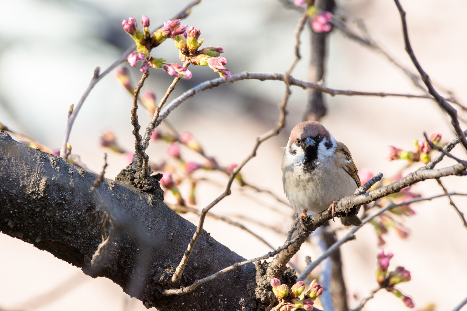 Photo: 「待ってるよ」 / Looking forward to It.  待ってるよ じぃ~っとじぃ~っと とっても楽しみなこと もう少しかな  sparrow. (スズメ)  Nikon D7200 SIGMA 150-600mm F5-6.3 DG OS HSM Contemporary  #birdphotography #birds #kawaii #小鳥 #nikon #sigma #小鳥グラファー  ( http://takafumiooshio.com/archives/1410 )