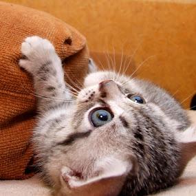 little by Oleg Verjovkin - Animals - Cats Kittens ( animals, kitten, cat, little )