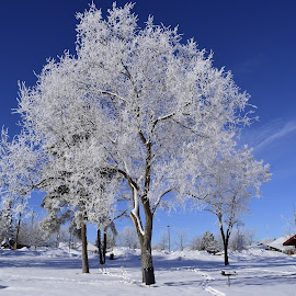 Morning frost. by Denton Thaves - Nature Up Close Trees & Bushes ( frost. trees, tree )