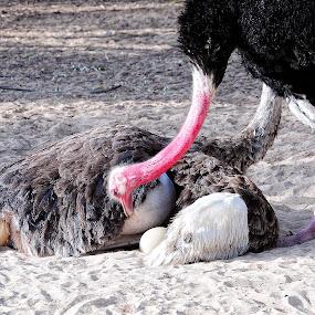 Ostrich by Tyrone de Asis - Animals Birds