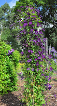 Photo: Clematis 'Victor Hugo' habitus