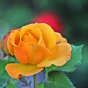 Orange Red Rose by Tony Huffaker - Flowers Single Flower ( orange, red, rose, garden, flower )