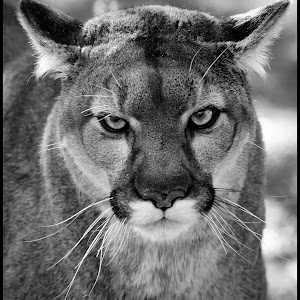 Mountain Lion-16.jpg