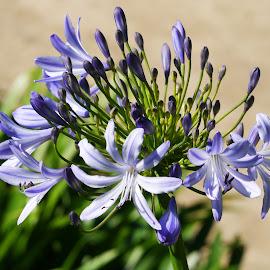 Blue Flower by Joatan Berbel - Flowers Flower Gardens ( flowers, gardens, blue, flowers photo, madrid, colorful )