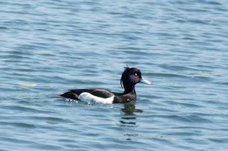 Photo: Tufted Duck (Reiherente); Wedel, DE