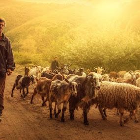Shepherd by Bojan Dzodan - People Fine Art ( village, nature, sheep, senior citizen, light )
