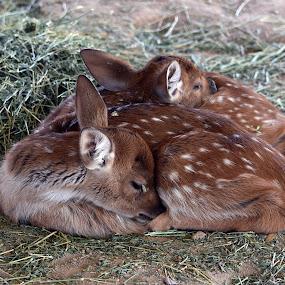 Fawns by Dawn Hoehn Hagler - Animals Other Mammals ( litchfield park, wildlife world zoo, zoo, arizona, baby animal, fawn, deer,  )