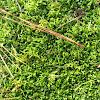 Ground moss