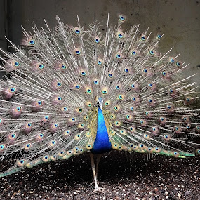 Peacock by Amit Kumar - Instagram & Mobile iPhone ( iphone 4s, instagram, birds, peacock, bird pattern, mobile )