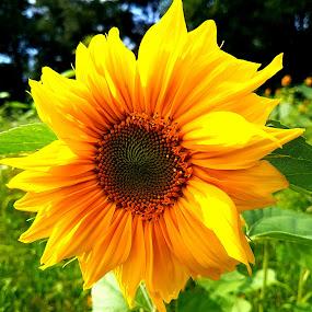 Sunflower...  by Ana Wisniewska - Instagram & Mobile Android
