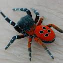 Ladybird spider male