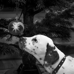 Curious about Christmas by Mats Andersson - Black & White Animals ( curious, dalmatian, decoration, curiosity, ornament, christmas, christmas tree, puppy, dog )