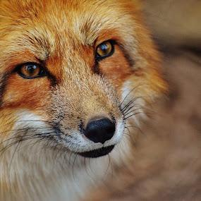 Fox by Jay Reich - Animals Other Mammals ( orange, red, fox, oo, fur, try, trump,  )
